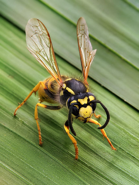 wesp 'vespula germanica'